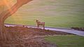 Feral billy goat, Mauna Lani Hawaii.jpg