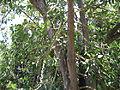 Ficus Geniculata V. Abnormalis6.JPG