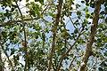 Ficus benghalensis 9zz.jpg