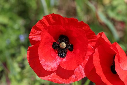 The flower of the common or field poppy Papaver rhoeas, on which the remembrance poppy is based Field poppy - Papaver rhoeas (12190335083).jpg
