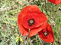 Field poppy - Papaver rhoeas - panoramio (1).jpg