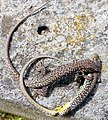Fighting lizards.jpg