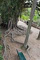 Figueira estranguladora (ficus macrophylla) (3541272542).jpg