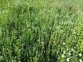 Filago vulgaris sl295.jpg