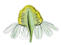 Fiore Asteraceae 01.png