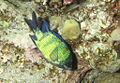 Fish), Abudefduf sexfasciatus at moment of mating (I think), Egypt -SCUBA -UNDERWATER -PICTURES (6536734579).jpg