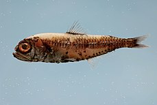 Fish4339 - Flickr - NOAA Photo Library.jpg