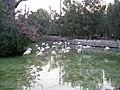 Flamingos (2862461992).jpg