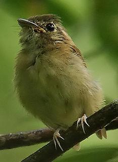 Stub-tailed spadebill species of bird
