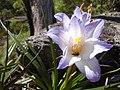 Flor de Ibitipoca1.JPG