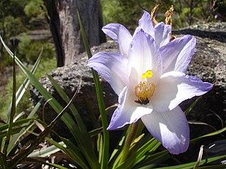 Velloziaceae - Vellozia with a visiting pollinator