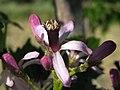 Flor del Arbol del Paraiso - Melia azedarach (17828022828).jpg