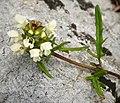 Flora (21a) (31490920558).jpg