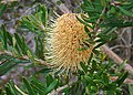 Flora of the Labillardiere Peninsula (8), Bruny Island.jpg
