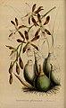 Flore des serres et des jardins de l'Europe - vol. 04 - page 306.jpg