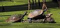 Florida Redbelly Turtles (Pseudemys nelsoni).jpg