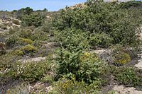 200px-Flowering-garrigue1