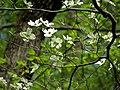 Flowering Dogwood (48343588606).jpg