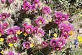 Flowering barrel cacti with other wildflowers in desert.jpg
