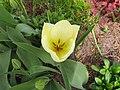 Flowers - (PL) Tulipan (17154343646).jpg