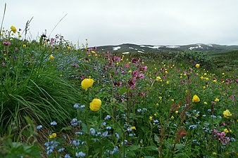 Flowers in Abisko National park.jpg
