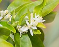 Flowers of Citrus clementina (9).jpg