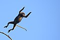 Flying Dusky Langur, Trachypithecus obscurus in Kaeng Krachan national park (15330947553).jpg