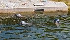 Focario de focas grises (Halichoerus grypus), Hel, Polonia, 2013-05-23, DD 03.jpg