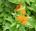 Forest Road - Fritillary on Butterfly Weed (Asclepias tuberosa) - Flickr - Jay Sturner.jpg