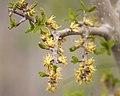 Forestiera pubescens var. pubescens.jpg