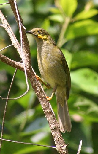Lakeba - The wattled honeyeaters on Lakeba belong to the large-wattled eastern subspecies Foulehaio carunculatus carunculatus, also found on Samoa, Tonga and Wallis and Futuna
