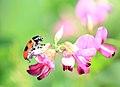 Four-spotted leaf beetle, Clytra arida.jpg