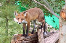 A red fox walking along a fallen tree