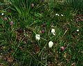 Fritillaria meleagris in the meadow - Flickr - peganum.jpg