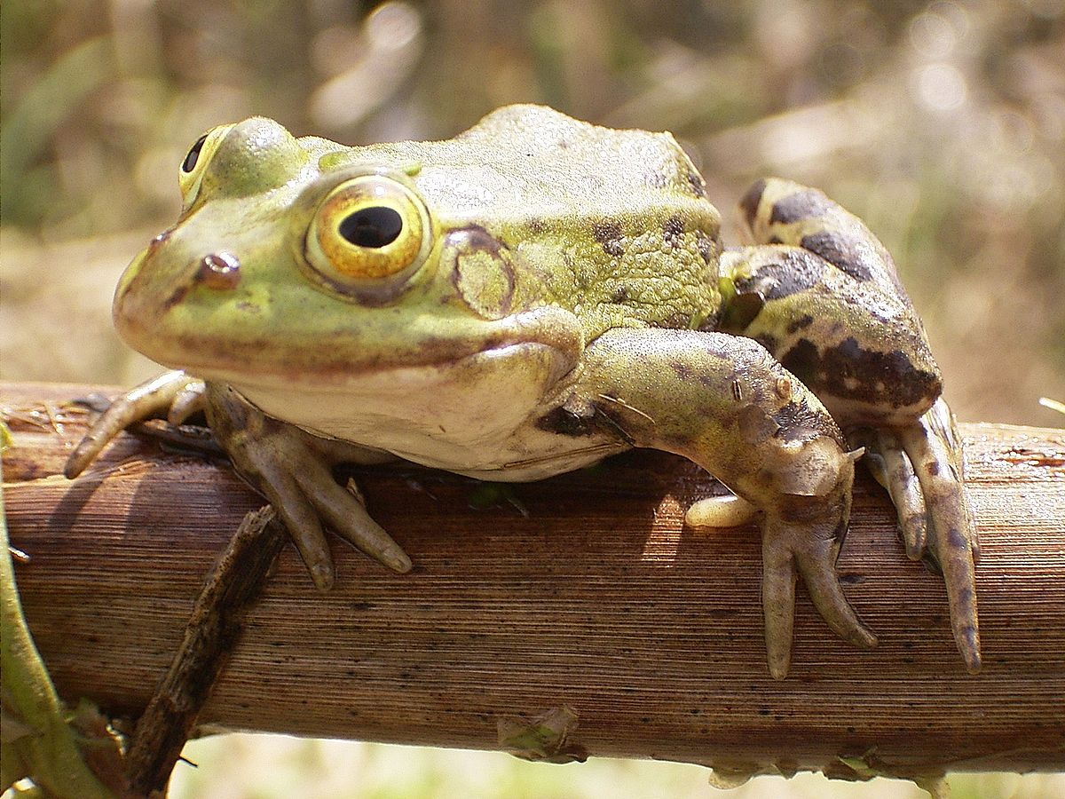 Frosch wiktionary for Pond animals