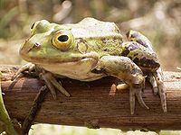 Frog on bough.jpg