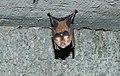 Fulvous leaf nosed bat.jpg