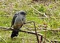 Gök Common Cuckoo (20350516795).jpg