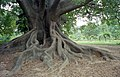 GIANT tree at Lalbagh Garden (6659424829).jpg