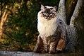 GIC Uljanka Koty Agaty*PL Ragdoll Lynx.jpg