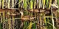 Gadwall hen and ducklings Seedskadee NWR 02 (14926557098).jpg