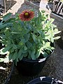 Gaillardia-arizona-red-shades-15.jpg