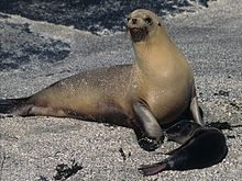 Galápagos Sea Lion.jpg