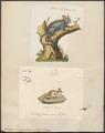 Galago senegalensis - 1700-1880 - Print - Iconographia Zoologica - Special Collections University of Amsterdam - UBA01 IZ19700161.tif