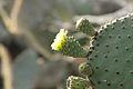 Galapagos Flowering Cactus.jpg