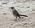 Galapagos Mockingbird (Nesomimus parvulus) (20332162179).jpg