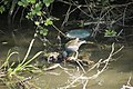 Gallinule poule d'eau (Gallinula chloropus) 02.jpg