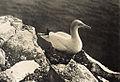 Gannet, or Solan Goose 2.jpg