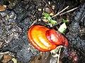 Ganoderma lucidum 682767.jpg