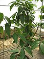 Gardenology.org-IMG 8080 qsbg11mar.jpg